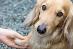 Friendship between human and dog. Shaking hand and paw (blond miniature long hair dachshund Royalty Free Stock Photography