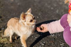 Friendship between human and small dog, shaking hand and paw. Chihuahua is cute small dog, friendly Stock Image