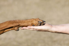 Friendship Human vs Dog. A paw of a Rhodesian Ridgeback male and a woman hand in symbolic of friendship between human and dog Royalty Free Stock Photo