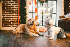 Friendship man child and dog pet. Theme Christmas New Year Winter Holidays. Baby boy crawling learns walk wooden floor decorated royalty free stock image