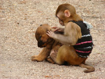 monkey and a puppy Royalty Free Stock Photos