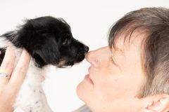 Friendship between owner and his  young Jack Russell Terrier puppy dog. Handler is wearing it. pup 7.5 weeks old royalty free stock photos