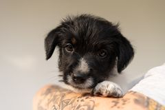 Friendship between owner and his  young Jack Russell Terrier puppy dog. Handler is wearing it. pup 7.5 weeks old royalty free stock image