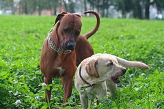 Friendship of pets. Game ridgeback and golden labrador Stock Photo