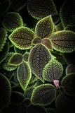 Friendship plant leaves, known by the scientific name Pilea involucrata royalty free stock images