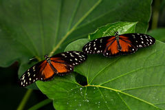 Friendship. Tropical Butterflies Dido Longwing on the green leafs Stock Photography