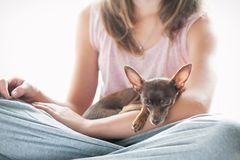 Trusting, devotion. Little toy-terrier dog sleeping on girl`s hand. Friendship, trusting, devotion. Little toy-terrier dog sleeping on young owner`s hand royalty free stock images