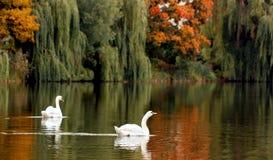 Friendship. Two swans on the autumn lake Stock Photos