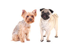 Friendship - yorkshire terrier and pug dog sitting isolated on w Stock Images
