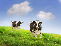 Friesan cows. Friesan Milking cows in a green field Royalty Free Stock Images