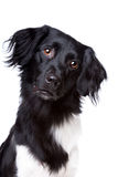 Friese Stabij, Frisian pointer Stock Images