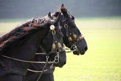 Friesen. Two black carriage horses called Friesen Stock Photos