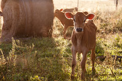 Friesen dairy cow calf standing in grass. In early morning sun Royalty Free Stock Photo