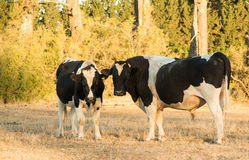 Friesian Bulls Stock Photos
