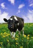 Friesian Calf Stock Images