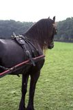 Friesian carriage horse. Black working friesian carriage horse with tack in meadow facing away royalty free stock images