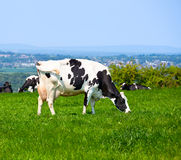 Friesian cattle Royalty Free Stock Photography