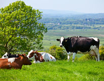 Friesian cattle Royalty Free Stock Images