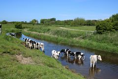 Friesian cattle in and by a river cooling off Stock Photos
