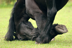 Friesian close-up Stock Image