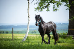 Friesian colt in meadow. Black Friesian horse royalty free stock photography