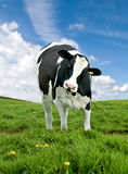 Friesian Cow Stock Photography