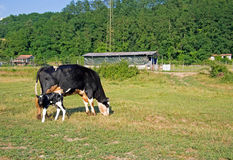 Friesian cow with day old calf in field, pasture. Stock Photography