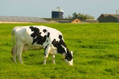 Friesian Cow in Farmland Stock Photos