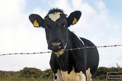 Friesian cow looking over a fence. Black and white Friesian cow looking over a barbed wire fence, Wales, UK Royalty Free Stock Images