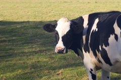 Friesian Cow Looking at You Stock Image