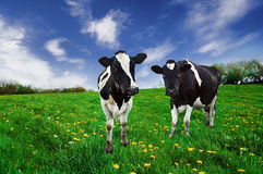 Friesian Cows. Friesian Dairy cows in a pasture. The lens perspective is intentional Stock Image