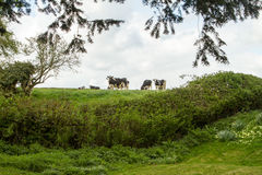 Friesian cows in english green fields. Heard Friesian cows in english green fields and hedge Royalty Free Stock Photos
