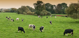 Friesian Cows In Field Royalty Free Stock Photography