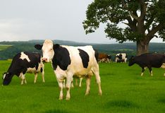 Friesian Cows Standing royalty free stock image