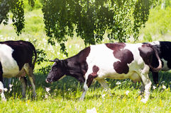 Friesian cows under tree Stock Photography