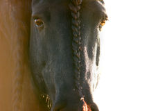 Friesian eyes closeup Stock Photo