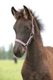 Friesian foal with halter standing on pasturage Royalty Free Stock Photography
