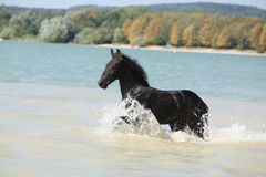 Friesian foal moving in the water Stock Photos