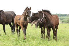Friesian foals on pasturage Royalty Free Stock Images