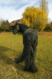 Friesian horse. A potrait of a friesian horse in the pasture Stock Photos