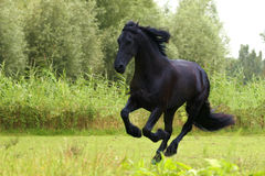 Friesian horse. Galloping in a bright green field royalty free stock image