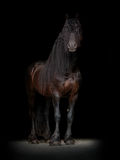 Friesian horse on the black background Stock Photography