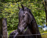 Friesian horse. Close up of the head of a friesian horse Stock Image