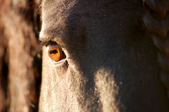 Friesian horse eye closeup Royalty Free Stock Photography