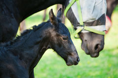 Friesian horse with foal Royalty Free Stock Photo
