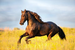 Friesian horse gallop in field. Friesian horse galloping in sunset in field stock photography