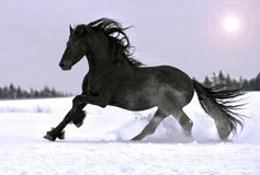 Friesian horse gallop in winter. Beautiful Friesian black stallion gallop in winter Royalty Free Stock Image
