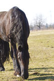 Friesian horse grazing Stock Photo
