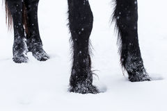 Friesian horse hooves Stock Images