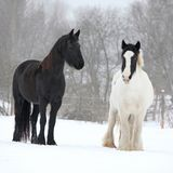 Friesian horse and irish cob in winter Royalty Free Stock Photography